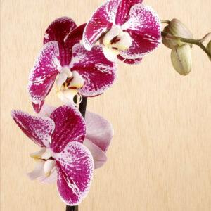 Orquídea Phalaenopsis rosa y blanca, flores