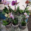 Phalaenopsis Mini