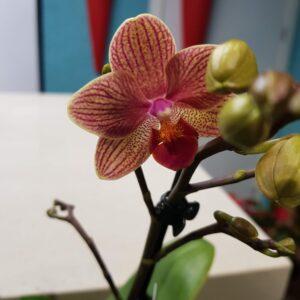 Phalaenopsis mini naranja