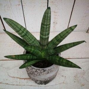 Sansevieria Bocellensis