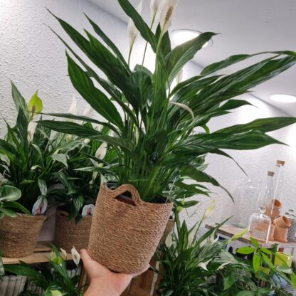 Spathiphyllum 'Silver cupido'